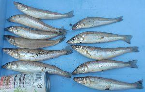 釣り場案内 大磯海岸4 幼稚園下にお客様釣果情報を新規登録しました。