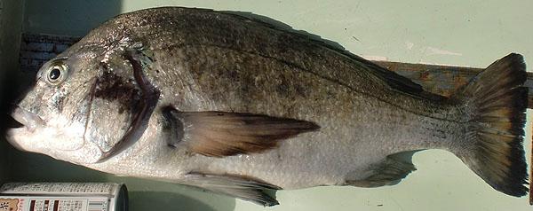 大磯釣り場案内 港D 中突堤に釣り情報掲載